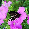 Swallowtail by Kathryn Meyer