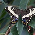 Swallowtail by Leah Palmer