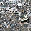 Swallowtail by Linda Kerkau