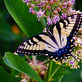 Swallowtail by Merrill Miller