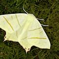 Swallowtail Moth by Nigel Downer