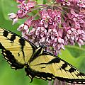 Swallowtail Notecard by Everet Regal