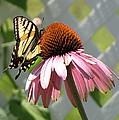 Looking Up At Swallowtail On Coneflower by MTBobbins Photography