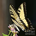 Swallowtail On Lantana by AnnaJo Vahle
