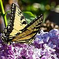 Swallowtail On Lilac by Paula Ponath