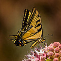Swallowtail On Milkweed by Janis Knight