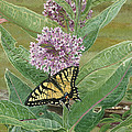Swallowtail On Milkweed by Lucinda V VanVleck