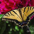 Swallowtail On Peony by Janice Rae Pariza