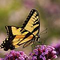 Swallowtail Sweetness by Leda Robertson