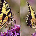 Swallowtail Sweetness Sequence by Leda Robertson