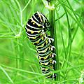 Swallowtail To Be by Lizi Beard-Ward