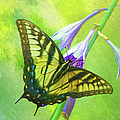 Swallowtail Visits Hosta Flowers by Sandi OReilly