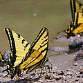 Swallowtails by Mike and Sharon Mathews
