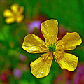 Swamp Buttercup Near Loon Lake In Sleeping Bear Dunes National Lakeshore-michigan  by Ruth Hager
