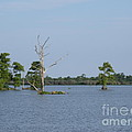 Swamp Cypress Trees by Joseph Baril