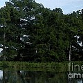 Swamp Cypress Trees Digital Oil Painting by Joseph Baril