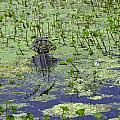 Swamp Gator by Allen Beatty