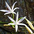 Swamp Lily by Peb Elliott