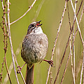 Swamp Sparrow Split Decision by Timothy Flanigan