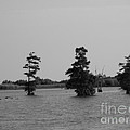 Swamp Tall Cypress Trees Black And White by Joseph Baril