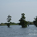 Swamp Tall Cypress Trees  by Joseph Baril