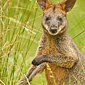 Swamp Wallaby by Michael  Nau