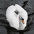 Swan 2 by Nick Field