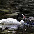 Swan A-swimming by Christi Kraft