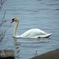 Swan A Swimming by Linda Kerkau