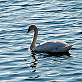 Swan by Aimee L Maher ALM GALLERY