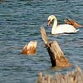 Swan Amid Stumps by Linda Kerkau