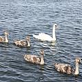 Swan And His Ducklings by John Telfer