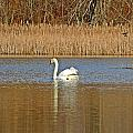 Swan And Swallow by MTBobbins Photography