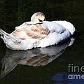 Swan Asleep by Jeremy Hayden