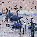 Swan At Dusk by Jill Bell