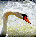 Swan - Beautiful - Elegant by Travis Truelove