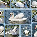 Swan Collage In Blue by Carol Groenen