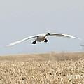 Swan Coming In For A Landing by Lori Tordsen