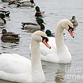 Swan Couple by Laurel Best