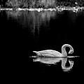 Swan by David Downs
