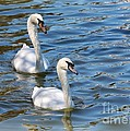 Swan Day by Carol Groenen