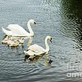 Swan Family by Jim  Calarese