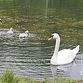 Swan Family by Teresa Mucha