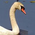 Swan Glide by Ian Mcadie