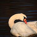 Swan Grooming by Karol Livote