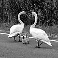 Swan Heart with Babies BW