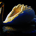 Swan In Golden Light by Hal Halli