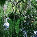 Swan Lake by Denise Mazzocco