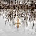 Swan Lake by Jay Ressler