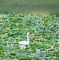 Swan Lake by Lew Davis
